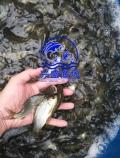 大同市地區一斤幾百條的鯉魚夏花苗供應