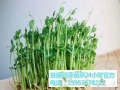益康園芽苗菜技術老師帶我們了解芽苗菜的功效
