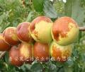 1cm貴妃棗樹供應