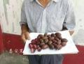 廬山獼猴桃苗供應商 廬山獼猴桃苗批發