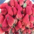 大棚草莓苗多少钱