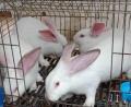 供定西肉兔養殖和甘肅肉兔