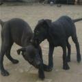 浙江黑狼犬狗崽价格是多少钱 那里有纯黑狼犬出售