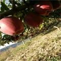 美國蛇果蘋果苗報價及價位