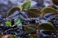 云南嘉農年華滇圣草金線蓮種植提供技術指導