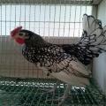 黑白花波兰鸡价格 青年波兰鸡多少钱一对