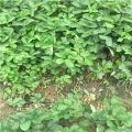 达赛草莓苗出售价格¡¢达赛草莓苗批发基地
