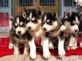 純種哈士奇幼犬惠州那里有賣哈士奇