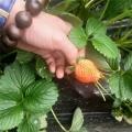 鬼怒甘草莓草莓苗專業種植模式簡介