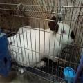 供敦煌養兔基地和甘肅肉兔廠