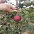 美國八號蘋果樹苗、美國八號蘋果樹苗出售