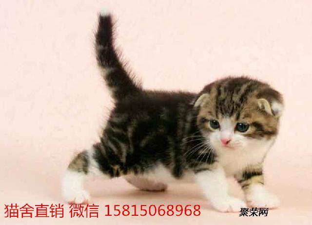 广州哪里有卖折耳猫 广州哪里买可爱的小猫咪