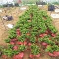 福星櫻桃樹苗哪里有賣、福星櫻桃樹苗多少錢一棵