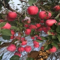 山东新2001苹果苗