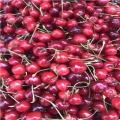 红宝石大樱桃树苗¡¢红宝石大樱桃树苗出售