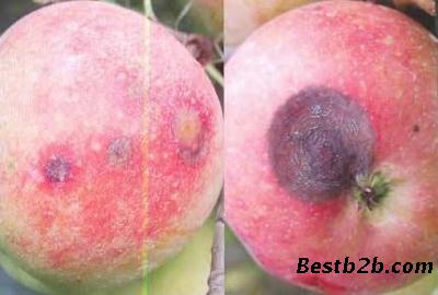 乙蒜素-防治苹果黑星病
