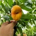 山東早甜蜜桃樹苗、山東早甜蜜桃樹苗出售