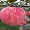 短枝苹果树苗、短枝苹果树苗批发基地