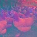 上海土雞多少錢一斤上海散養土雞價格
