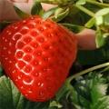 甜查理草莓法蘭地草莓苗專業種植模式指導