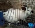 供蘭州種兔和甘肅肉兔飼料