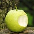 中梨4號砂梨梨苗專業種植模式簡介