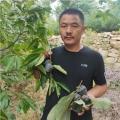 甜柿子樹苗、一年甜柿子樹苗報價、甜柿子樹苗報價