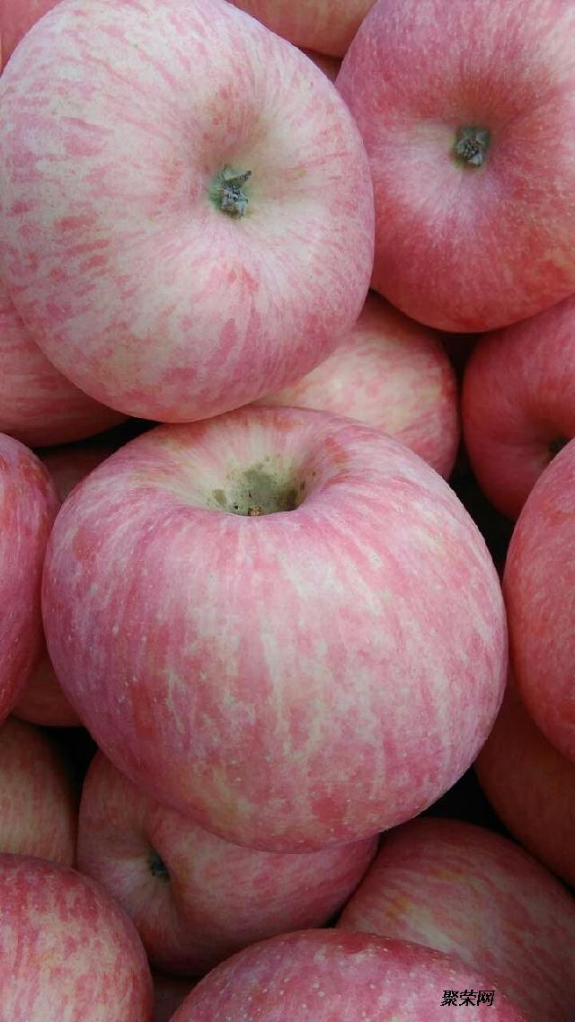 手机验证供应山东冷库优质苹果 批发75以上红富士苹果