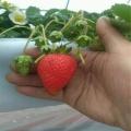 隋珠草莓苗專業種植模式指導