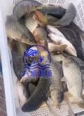 唐山市鯉魚批發