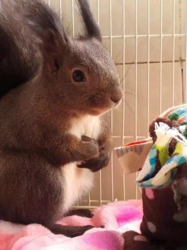 供雪地松鼠幼崽松鼠养殖场出售宠物松鼠小松鼠魔王松鼠