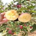 红肉苹果树苗、红肉苹果树苗出售