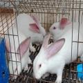 供武威兔肉和甘肅肉兔廠