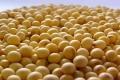 采購大量優質大豆、高粱
