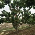 吉塞拉大樱桃苗哪里便宜、吉塞拉大樱桃苗价格是多少