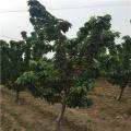 大大樱桃苗、哪里有大大樱桃苗、大大樱桃苗价格多少