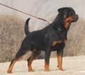 3-4个月小罗威纳犬好训练吗 罗威纳犬多少钱