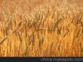 收购大量优质小麦、大豆