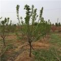 砂蜜豆樱桃苗、砂蜜豆樱桃树苗基地