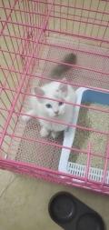 深圳宝安南山哪儿有卖布偶猫的 实体店便宜实惠售后保障