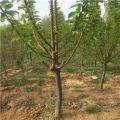 雷尼樱桃树苗、雷尼樱桃树苗品种、雷尼樱桃树苗价格多少