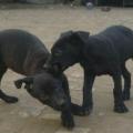 3-4个月黑狼犬幼犬好喂养吗 小黑狼犬训练视频