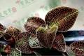贵州中科农经宝灵圣草金线莲种植 获得有利的盈利空间