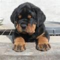 2-3个月小罗威纳犬好训练吗 罗威纳犬多少钱