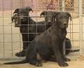 3-4个月小黑狼犬好训练吗 黑狼犬幼犬价格图片