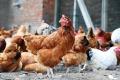 代理餐厅酒店广州鸡品直送 专业配送工厂鸡鸭鹅产品找好公司