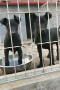 2-3个月小拉布拉多犬好训练吗 拉布拉多犬图片