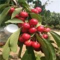 吉塞拉7号樱桃苗、吉塞拉7号樱桃树苗、吉塞拉7号樱桃树苗价格