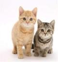 中华田园猫猫咪出售