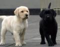 3-4个月拉布拉多犬幼犬好喂养吗